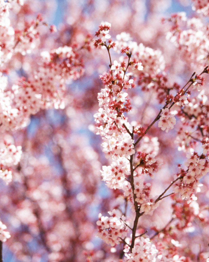 xcg Güte – japanischer Kirschbaum